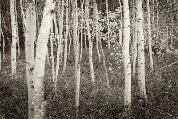 acadia-birch-trees-michael-hudson