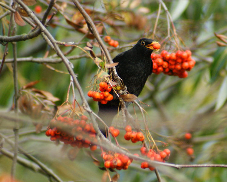 blackbird-in-rowan